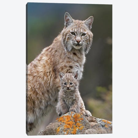 Bobcat Mother And Kitten, North America Canvas Print #TFI119} by Tim Fitzharris Canvas Wall Art