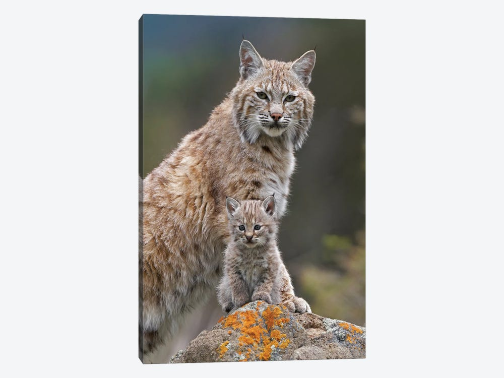 Bobcat Mother And Kitten, North America by Tim Fitzharris 1-piece Canvas Art Print