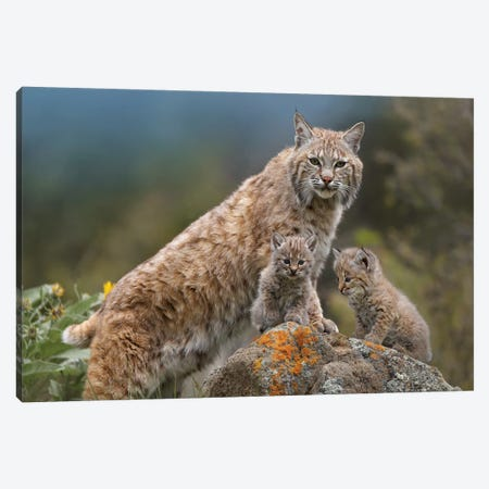 Bobcat Mother And Kittens, North America Canvas Print #TFI120} by Tim Fitzharris Canvas Print