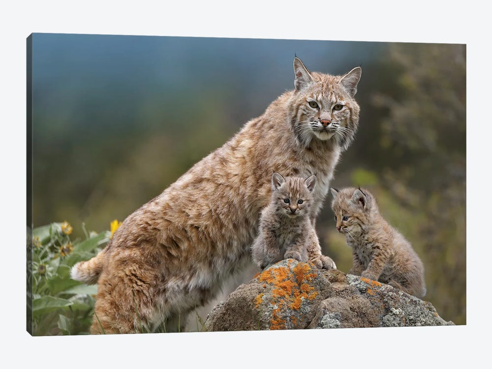 Bobcat Mother And Kittens, North America by Tim Fitzharris 1-piece Canvas Print