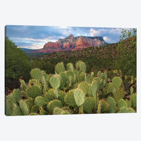Opuntia Cactus And Mountain, Red Rock-Secret Mountain Wilderness, Arizona Canvas Print #TFI1216} by Tim Fitzharris Art Print