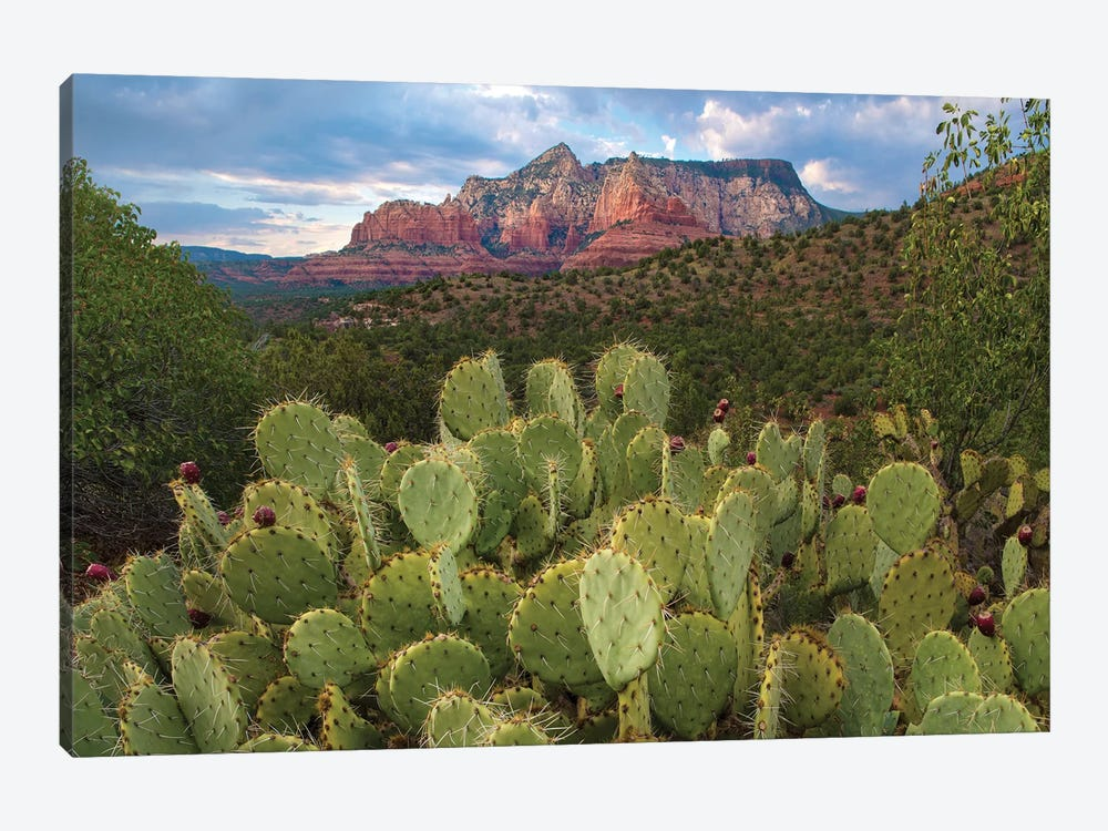 Opuntia Cactus And Mountain, Red Rock-Secret Mountain Wilderness, Arizona by Tim Fitzharris 1-piece Canvas Print