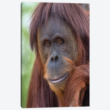 Sumatran Orangutan Male, Native To Sumatra Canvas Print #TFI1222} by Tim Fitzharris Canvas Print