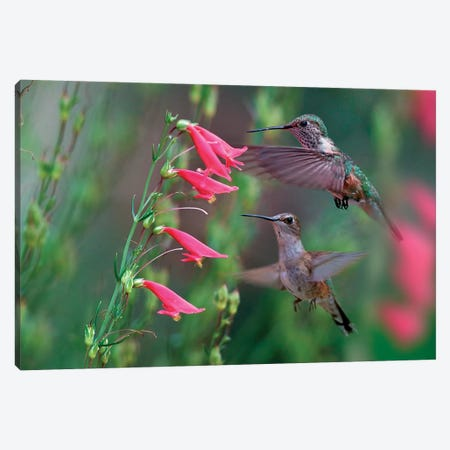 Ruby-throated Hummingbirds, Texas Canvas Print #TFI1227} by Tim Fitzharris Canvas Wall Art
