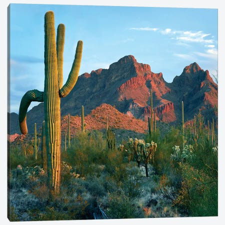 Ajo Mountains, Organ Pipe National Monument, Arizona Canvas Print #TFI1229} by Tim Fitzharris Art Print