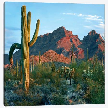 Ajo Mountains, Organ Pipe National Monument, Arizona Canvas Print #TFI1229} by Tim Fitzharris Art Print