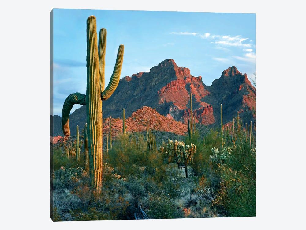 Ajo Mountains, Organ Pipe National Monument, Arizona by Tim Fitzharris 1-piece Canvas Art Print