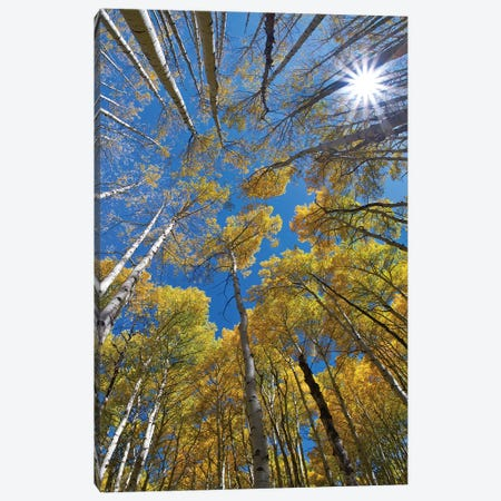 Aspens and sun burst at Kebler Pass, Colorado Canvas Print #TFI1230} by Tim Fitzharris Canvas Wall Art