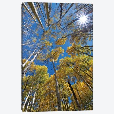 Aspens and sun burst at Kebler Pass, Colorado Canvas Print #TFI1230} by Tim Fitzharris Canvas Wall Art