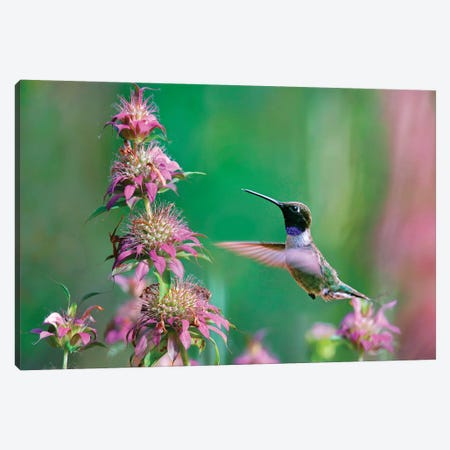 Black-chinned Hummingbird at bee balm, Texas, USA.   Canvas Print #TFI1231} by Tim Fitzharris Canvas Wall Art