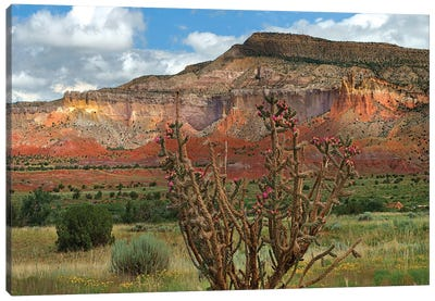 Chola cactus at Kitchen Mesa, Ghost Ranch, New Mexico, USA Canvas Art Print