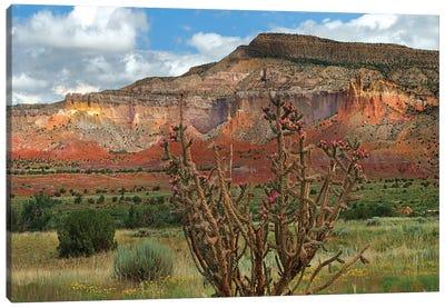 Chola cactus at Kitchen Mesa, Ghost Ranch, New Mexico, USA Canvas Art Print