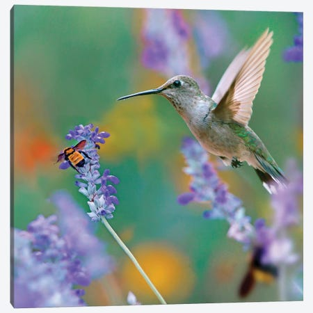 Female Black-chinned Hummingbird with bumble bee, Texas, USA. Canvas Print #TFI1234} by Tim Fitzharris Art Print