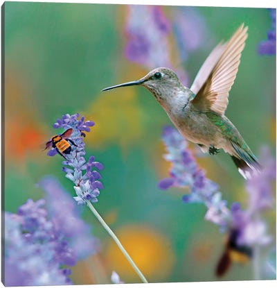 Female Black-chinned Hummingbird with bumble bee, Texas, USA. Canvas Art Print