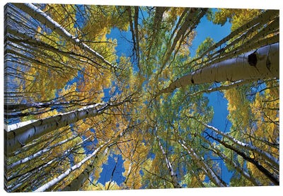 Looking up through Aspens to the sky, Kebler Pass, Colorado Canvas Art Print