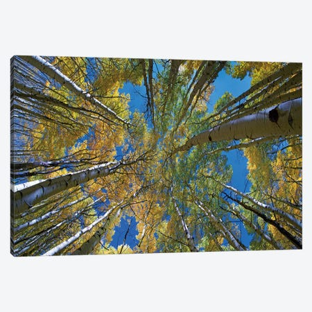 Looking up through Aspens to the sky, Kebler Pass, Colorado Canvas Print #TFI1238} by Tim Fitzharris Canvas Artwork