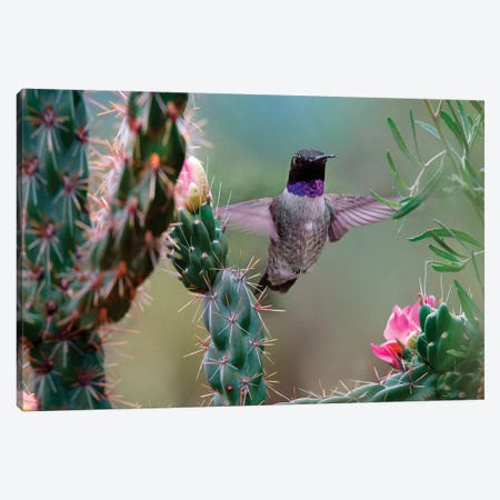Male Black-chinned Hummingbird among cholla cactus, New Mexico, USA Canvas Print #TFI1240} by Tim Fitzharris Art Print