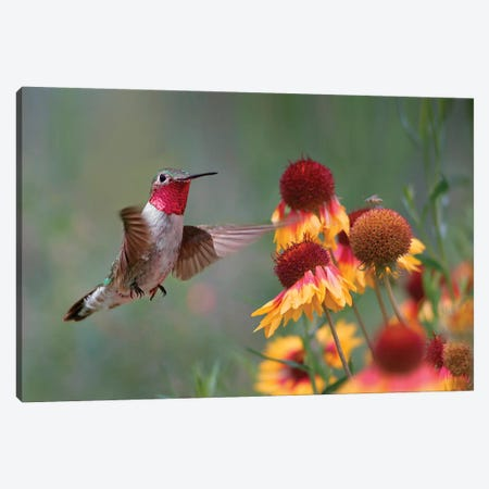 Male Broad-tailed Hummingbird at gaillardia, New Mexico Canvas Print #TFI1241} by Tim Fitzharris Art Print