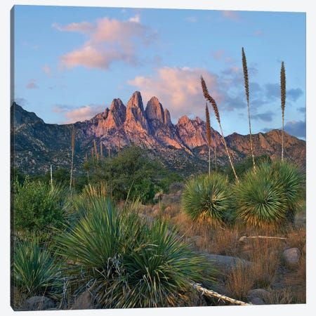 Agave, Organ Mts, Aguirre Spring Nra, New Mexico Canvas Print #TFI1248} by Tim Fitzharris Canvas Print