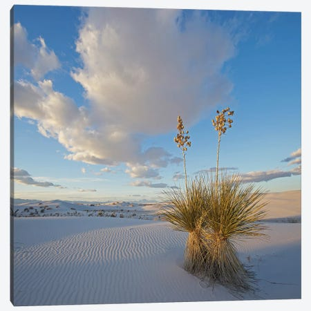 Agave, White Sands , New Mexico Canvas Print #TFI1250} by Tim Fitzharris Canvas Wall Art