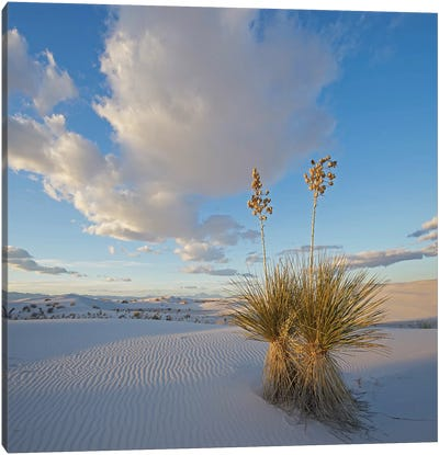 Agave, White Sands , New Mexico Canvas Art Print