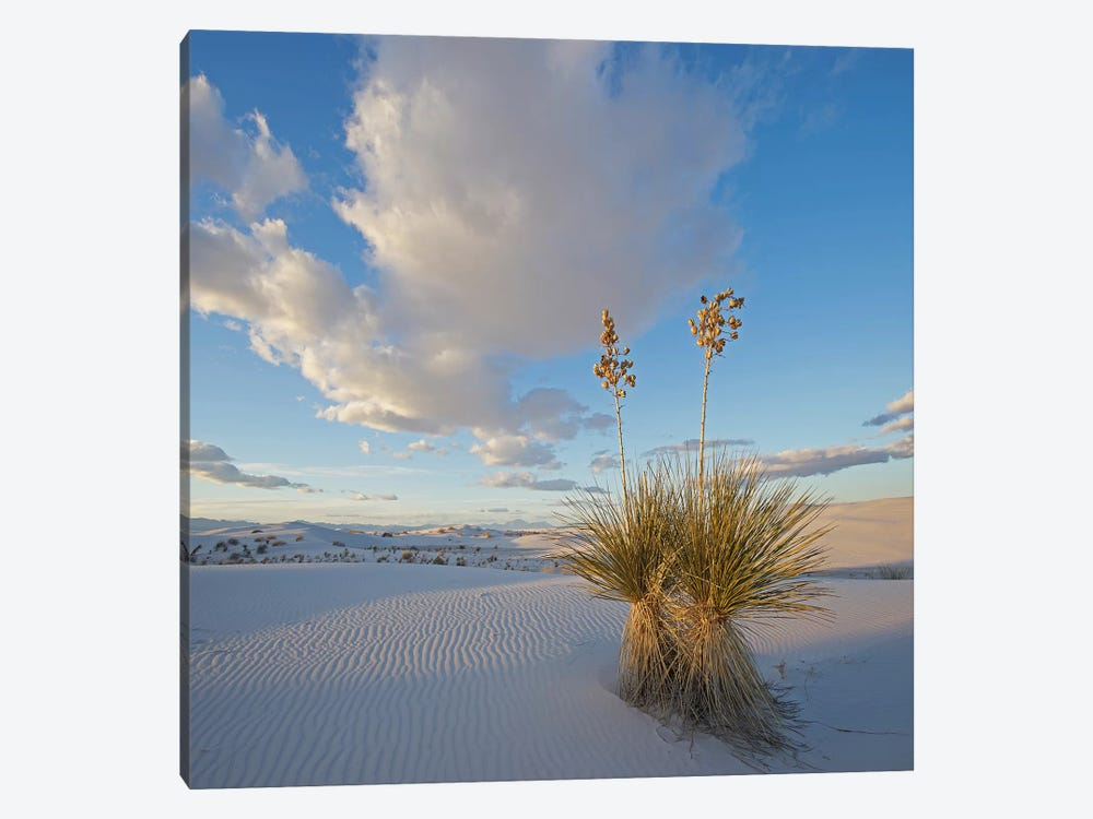 Agave, White Sands , New Mexico by Tim Fitzharris 1-piece Canvas Art Print