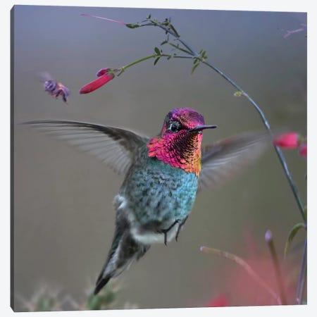 Anna's Hummingbird, Arizona Canvas Print #TFI1253} by Tim Fitzharris Canvas Wall Art