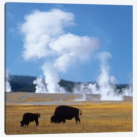Bison And Calf Near Fountain Paint Pot, Yellowstone National Park, Wyoming Canvas Print #TFI1262} by Tim Fitzharris Canvas Print