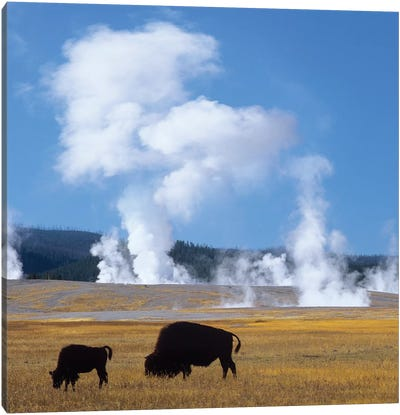 Bison And Calf Near Fountain Paint Pot, Yellowstone National Park, Wyoming Canvas Art Print