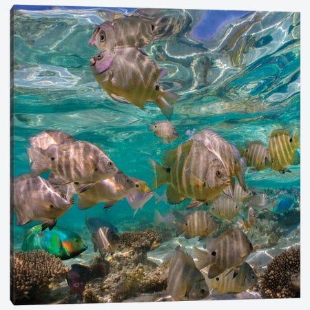 Blackspot Sergeant School, Ningaloo Reef, Australia Canvas Print #TFI1263} by Tim Fitzharris Canvas Art Print