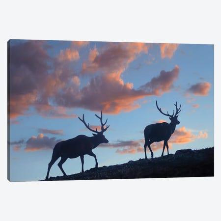 Bull Elk, Rocky Mountain National Park, Colorado Canvas Print #TFI1264} by Tim Fitzharris Canvas Wall Art