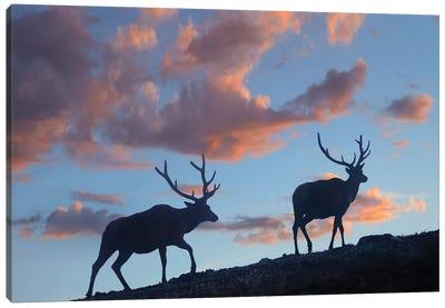 Bull Elk, Rocky Mountain National Park, Colorado Canvas Art Print