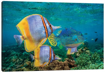 Butterflyfish And Horned Boxfish, Coral Coast, Australia Canvas Art Print