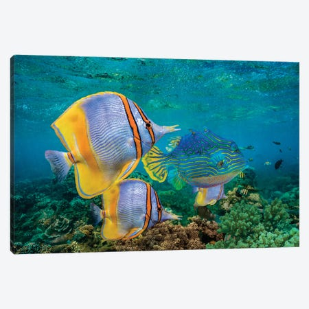 Butterflyfish And Horned Boxfish, Coral Coast, Australia Canvas Print #TFI1266} by Tim Fitzharris Canvas Art