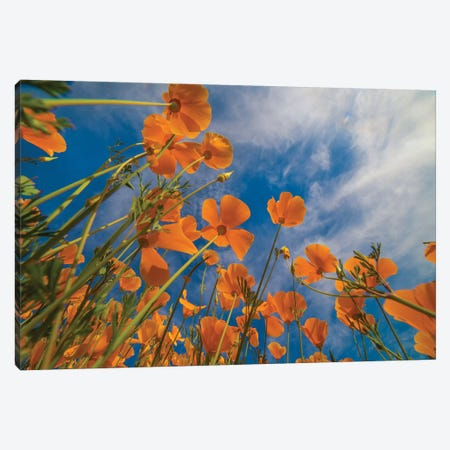 California Poppies In Spring Bloom, Lake Elsinore, California Canvas Print #TFI1271} by Tim Fitzharris Canvas Art
