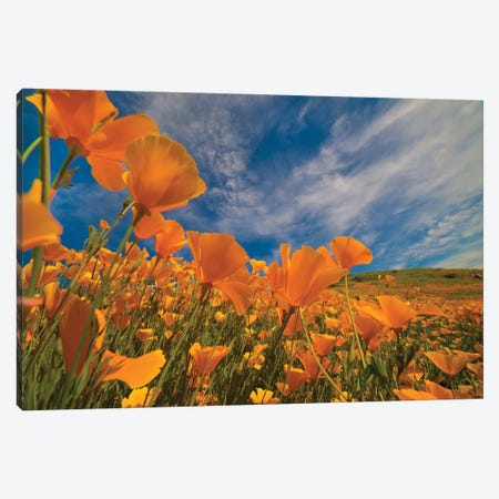 California Poppies In Spring Bloom, Lake Elsinore, California Canvas Print #TFI1272} by Tim Fitzharris Canvas Artwork