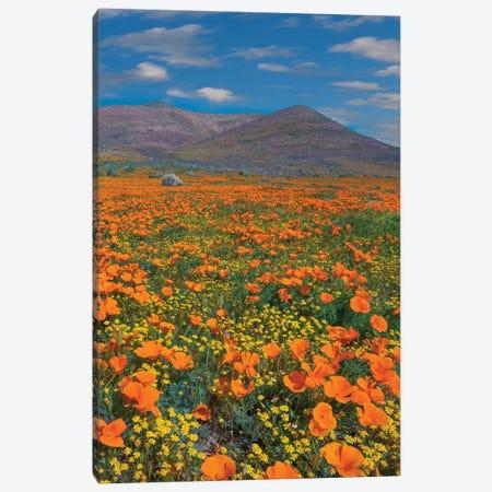 California Poppy, Superbloom, Antelope Valley, California Canvas Print #TFI1275} by Tim Fitzharris Canvas Print