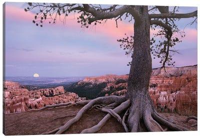 Conifer And Moon, Bryce Canyon National Park, Utah Canvas Art Print