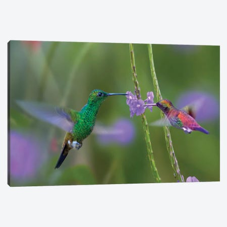 Copper-Rumped Hummingbird And Green-Throated Mango Feeding, Trinidad Canvas Print #TFI1297} by Tim Fitzharris Canvas Art Print