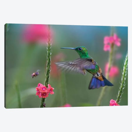 Copper-Rumped Hummingbird, Trinidad Canvas Print #TFI1298} by Tim Fitzharris Canvas Art