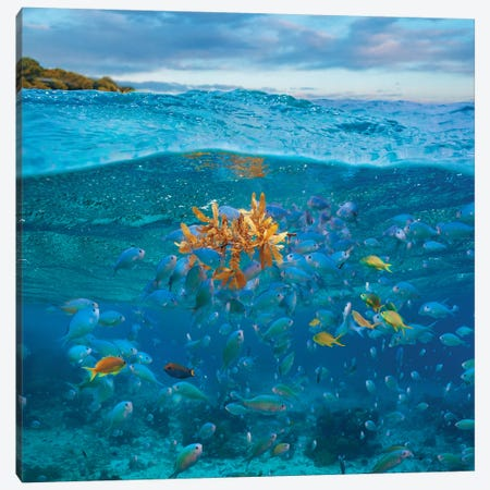 Damselfish And Basslet School And Seaweed, Bohol Island, Philippines Canvas Print #TFI1303} by Tim Fitzharris Canvas Art