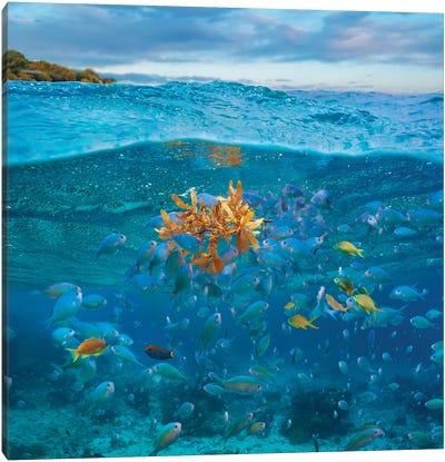 Damselfish And Basslet School And Seaweed, Bohol Island, Philippines Canvas Art Print