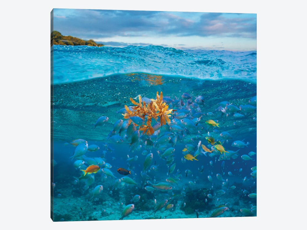 Damselfish And Basslet School And Seaweed, Bohol Island, Philippines by Tim Fitzharris 1-piece Canvas Wall Art