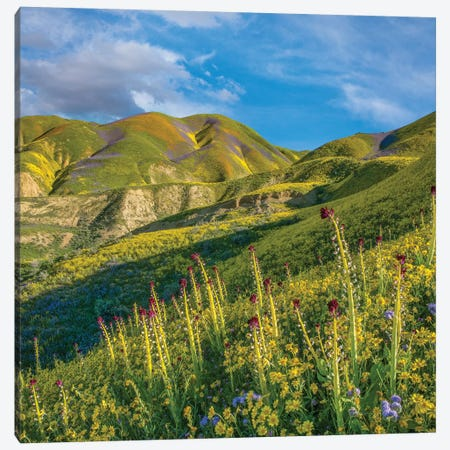 Desert Candle, Phacelia, And Hillside Daisy Superbloom, Temblor Range, Carrizo Plain Nm, California Canvas Print #TFI1304} by Tim Fitzharris Canvas Art Print