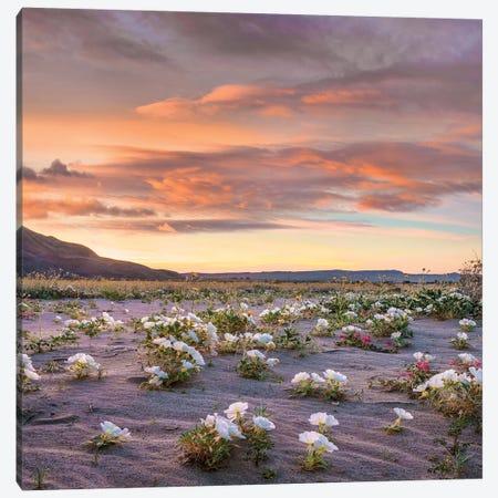 Desert Lily Spring Bloom, Anza-Borrego Desert State Park, California 3-Piece Canvas #TFI1305} by Tim Fitzharris Canvas Art Print