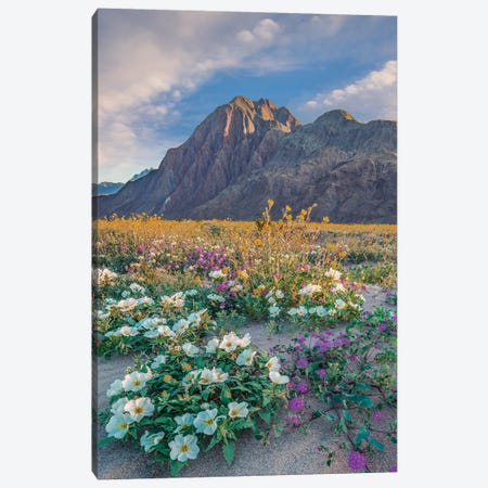 Desert Sand Verbena, Desert Sunflower, And Desert Lily Spring Bloom, Anza-Borrego Desert State Park, California Canvas Print #TFI1306} by Tim Fitzharris Art Print