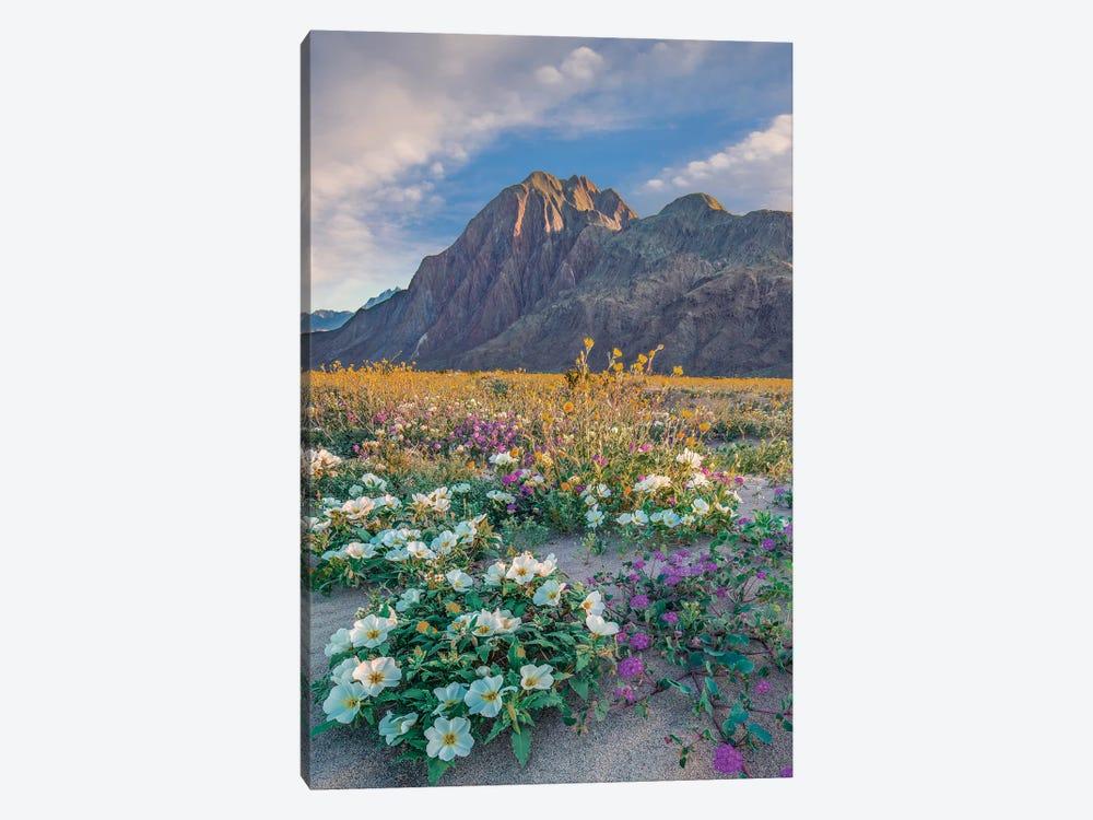 Desert Sand Verbena, Desert Sunflower, And Desert Lily Spring Bloom, Anza-Borrego Desert State Park, California by Tim Fitzharris 1-piece Canvas Print