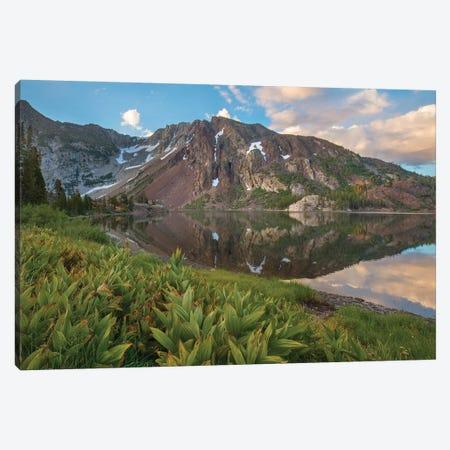 False Hellebore, Ellery Lake, Inyo National Forest, California Canvas Print #TFI1318} by Tim Fitzharris Canvas Print