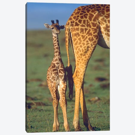 Giraffe Calf And Mother, Africa Canvas Print #TFI1322} by Tim Fitzharris Canvas Wall Art
