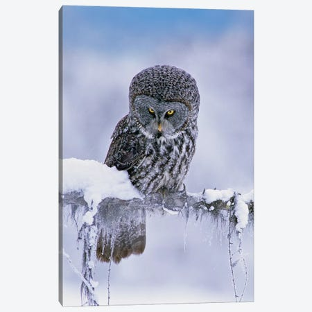 Great Gray Owl In Winter, North America Canvas Print #TFI1328} by Tim Fitzharris Canvas Wall Art